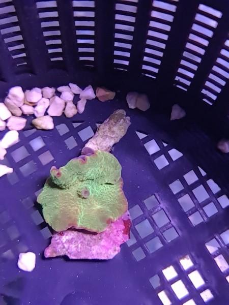 Eclectus jawbreaker discosoma mushrooms