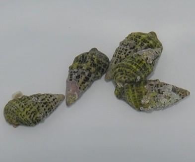Cerithium (Tehericium) litteratum